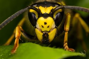Queen Wasp II by dalantech