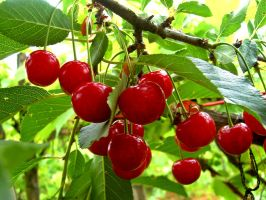 cherry by ad-shor