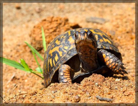 Eastern Box Turtle 50D0001341 by Cristian-M