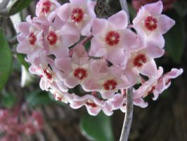 pink flowers 6123 by Maxine190889