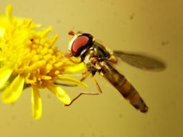 hoverfly by DoodleBe