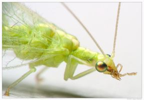 Green Lacewing by mantispid