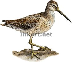 Short-Billed Dowitcher by rogerdhall
