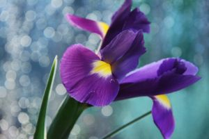 Iris by Purple-Ephemerality
