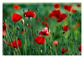 Poppies by Tanja0869