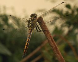 Dragon fly_4_ by Morvarid26