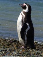 Magellanic penguin 2 by Cansounofargentina