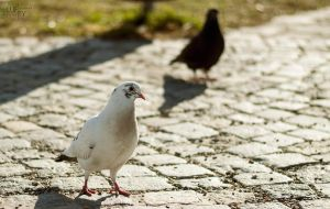 White Pigeon by Lufty09