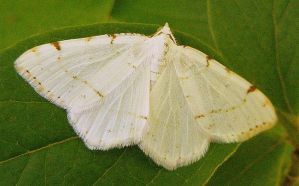 White moth by PaganFireSnake