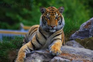 Big Cat by Sagittor