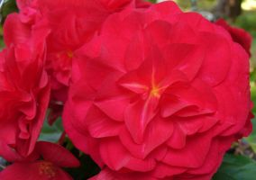 Scarlet Begonias by PamplemousseCeil