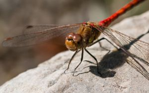 Red Dragonfly by Satriver
