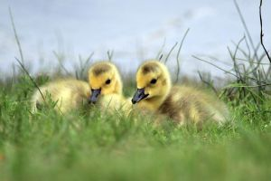 Goslings by sgt-slaughter