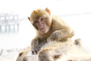 Barbary Macaque by Daniel-Scott