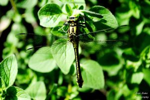 Green dragonfly by LeeLooAnja