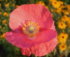 Good Morning Poppy by KeswickPinhead