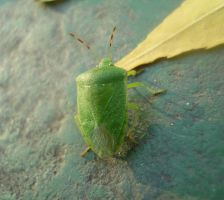 Adult Green Stink Bug by jamais08