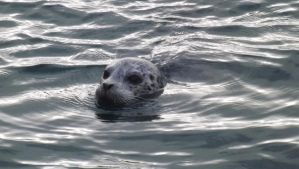 Seal At West Vancouver 4 by mc1964