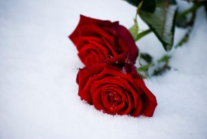 Winters rose I by Speth-Hansen