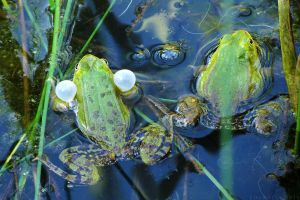 Green frogs IV by rosaarvensis