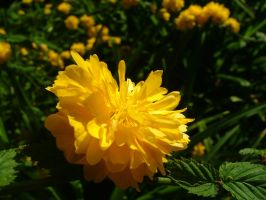 .stock: yellow flower. by guavon-stock