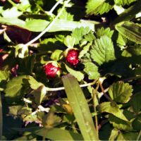 Wildstrawberries by Neneplayswithpaper