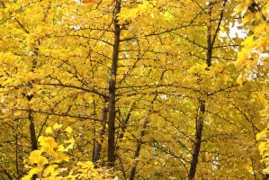 Yellow Autumn in Japan Gingko by secede0