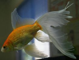 gold fish or mermaid tail 21 by scratzilla