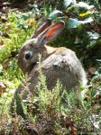 European Rabbit by Vhazza