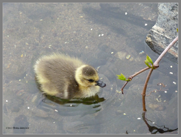 Gosling in Spring by Mogrianne
