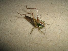 Grasshopper on the beach by ballzenator
