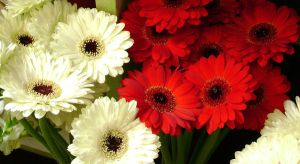 White and Red gerberas by snoogaloo
