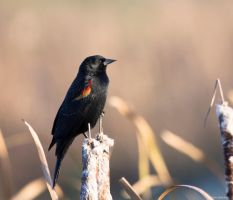 Red-winged Blackbird lV by deseonocturno