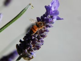 Bee and Lavender by ZiggyStardust201