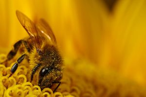 Honeybee on Sunflower I by dalantech