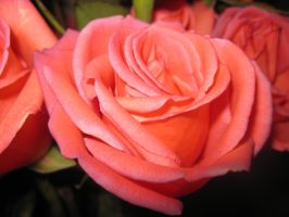 Coral Rose by Duches77