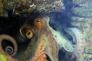 Common Octopus by MorganeS-Photographe