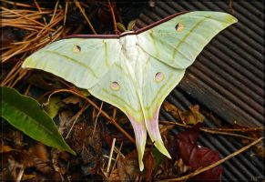 Actias selene, male by J-Y-M