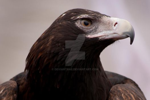 Wedgetail Eagle by DeviantRae