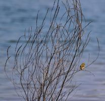 Female Yellow Finch by Noble-Kenshi