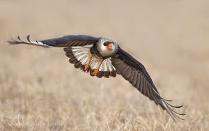 Crested Caracara coming at you by AForns