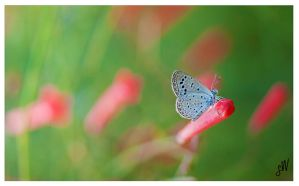 Tiny Grass Blue butterfly by freudian-slips