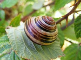 Cepaea hortensis by Jack-In-The-Green