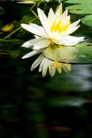 Water Lilly 26 by Art-Photo
