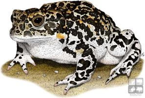 Yosemite Toad by rogerdhall