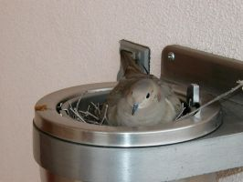 Dove in an ashtray by kbakonyi