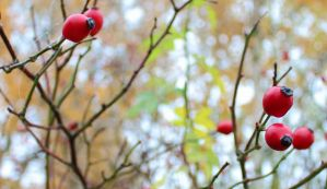 Red berries by KB-Fotografie