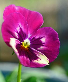 Winter Pansy by priwax