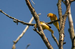 Young Baltimore Orioles July - 2014 - 15 - 1 by toshema
