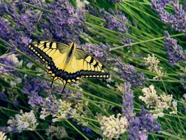 Papilio machaon on lavender by PurebloodRose